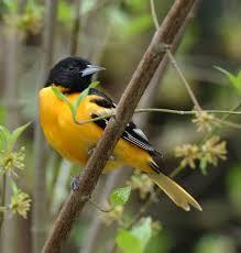Ohio Birds images Baltimore oriole jpg