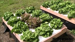 growing hydroponic lettuce outside with no electricity youtube