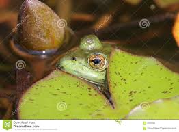 frog under a lily pad stock photos image 5910253