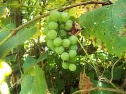 dolma u2013 stuffed grape leaves edible tapestry