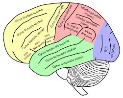 brain anatomy coloring book supramarginal gyrus wikipedia