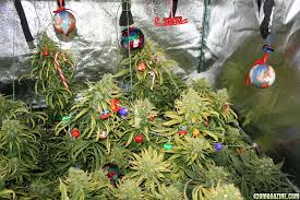 everything you need for a cannabis kushmas chronic crafter