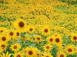 flower garden sunflower f wallpaper 1600x1200 176833 wallpaperup