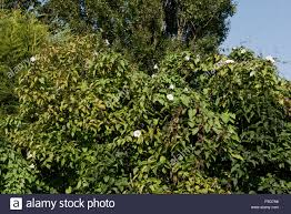 large greater bindweed plant in late season covering a lilac tree