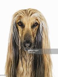 afghan hound afghan hound against white background closeup stock photo getty