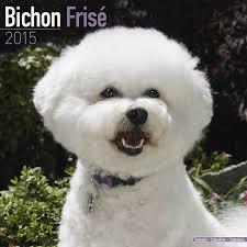 bichon frise 4 months old bichon frise calendar breed specific bichon frise calendar
