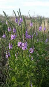 native kansas plants 16 best growing natives images on pinterest native plants