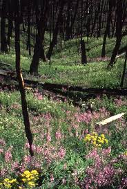 Wildfire Areas by 1988 Wildfires In Yellowstone Lasting Environmental Impacts And