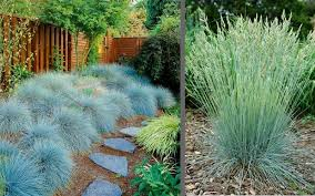 buy beyond blue fescue festuca for sale from wilson bros