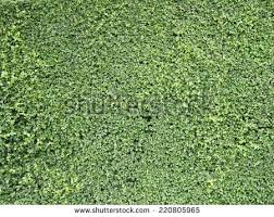 ornamental shrubs wall shrubs stock photo 518403295