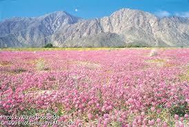 anza borrego wildflowers 1999 08 09