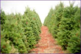 millers christmas tree farm wisconsin home design ideas