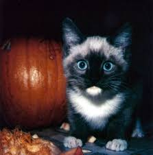 halloween cat free stock photo public domain pictures
