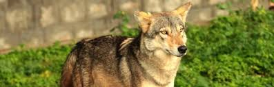 indian wolf wolf facts and information