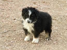 diamond s australian shepherds 10 best fur babies images on pinterest australian shepherd