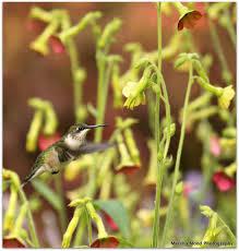 Hummingbird Plant Hummingbird Haven A Success Rotary Botanical Gardens