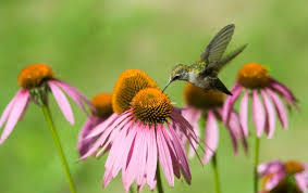 hummingbird flowers hummingbird and pink flowers hummingbird facts and information