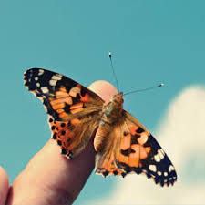 butterfly care faqs painted butterflies