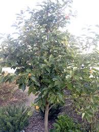 ls that look like trees that orange tree might be a persimmon tree salisbury post