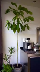 my home grown avocado tree u2026 pinteres u2026