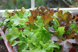 Types Of Vegetables To Grow In A Garden - lettuce varieties types of lettuce varieties of lettuce