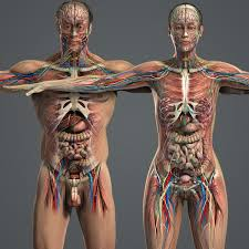 Human Body Female Anatomy 37 Best Anatomy Images On Pinterest Drawings Human Anatomy And