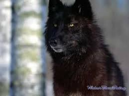 the of the black and white wolf