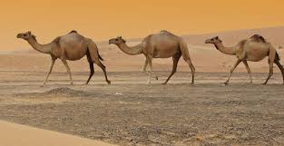 camel milk really good sh t ozy