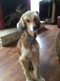 afghan hounds for adoption adopted dogs afghan hound rescue