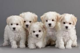 bichon frise long hair the adorable bichon frise dog breed and their temperament purrs