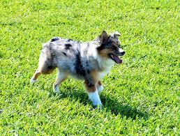 australian shepherd family dog top 10 reasons to have an australian shepherd in your family
