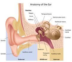 Cranial Nerves Worksheet Diagram Of The Ear For Kids Diagram Gallery Wiring Diagram