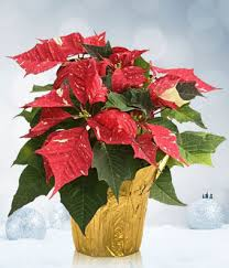 white poinsettia and white christmas poinsettia at from you flowers