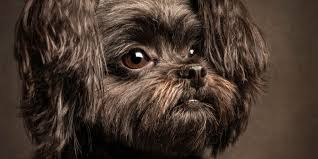 affenpinscher loyalty client session sneak peeks zoo studio u2013 pet photography brisbane