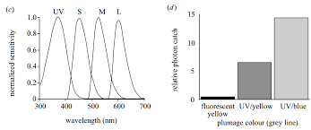 uv l short and long wavelength birds of a feather fluoresce together physiological ecology