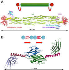 the sarcomeric cytoskeleton from molecules to motion journal of