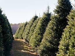christmas trees maple row farm