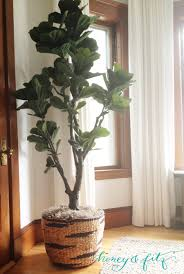 the fiddle leaf fig tree you can t kill from zgallerie 250