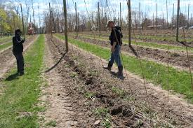 in michigan hops go from backyard hobby to commodity crop wmuk