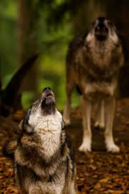 15 best lone wolf images on pinterest animals grey wolves and