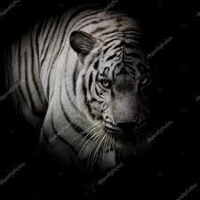 white tiger isolated on black background stock photo art9858