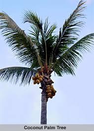 palm tree indian tree