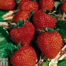 strawberry u0027flamenco u0027 everbearer all season thompson u0026 morgan