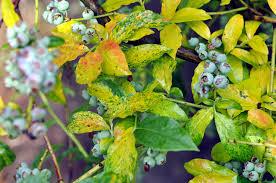 Symptoms Of Viral Diseases In Plants - blueberry vaccinium corymbosum virus diseases pacific