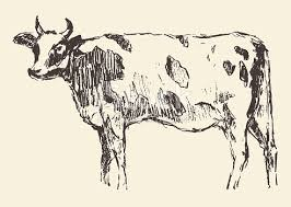 spotted cow dutch cattle breed hand drawn sketch stock vector art