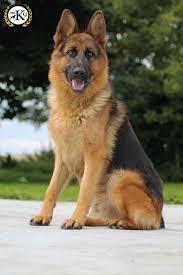 belgian sheepdog for sale uk dogs for sale total k9