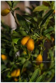 best 25 kumquat tree ideas on kumquat fruit tree