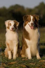 rockin d australian shepherds 601 best puppies i want images on pinterest aussie puppies