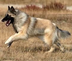 belgian sheepdog of america belgian tervuren one of four varieties of belgian shepherd dogs