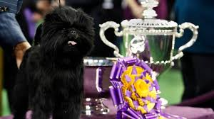 affenpinscher how much do they cost attleboro u0027s william truesdale talks about his westminster best in